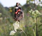 Августовская бабочка