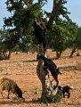 Козы взбираются на дерево