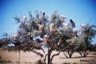 Грозди коз на дереве