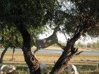 Коза на лозе, окрестность Вологды