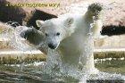 Медведь! А плывёт баттерфляем!?